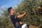 Access Community Service-Olive Picking