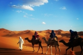 Camels being led through the Sahara Desert in Morocco